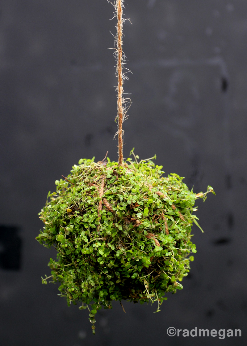 Kokedama Japanese moss ball plant | Girlfriend is Better