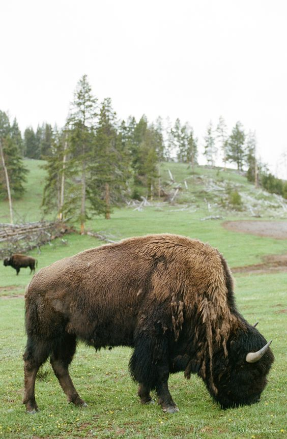 Bison in Yellowstone National Park | Travel guide day trip | Girlfriend is Better
