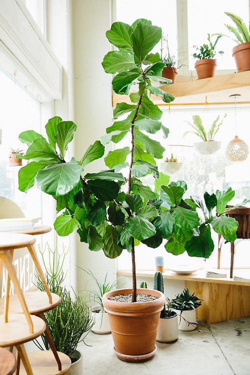 fiddle leaf figs | ficus lyrata tall upward growing plant indoor low maintenance Bohemian | Girlfriend is Better